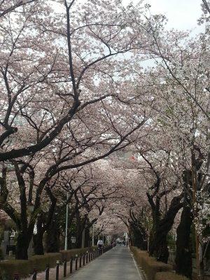 青山墓地の桜