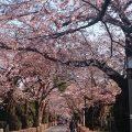 青山墓地の桜並木